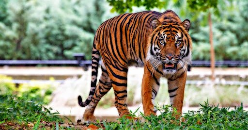 Tigers For Kids 10 Amazing Facts About Tigers Tiger And Tim